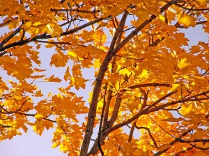yellow-maple-tree-leaves-autumn-fall-branches